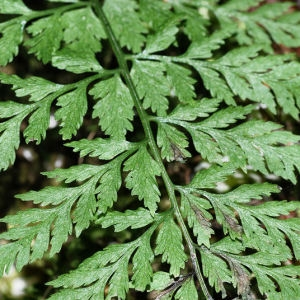 Cystopteris fragilis (L.) Bernh. (Capillaire blanc)