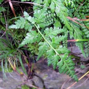 Photographie n°2270220 du taxon Asplenium adiantum-nigrum L.