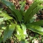La Spada Arturo - Asplenium scolopendrium L.