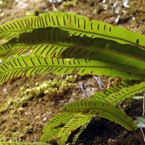 Photographie n°2270260 du taxon Asplenium scolopendrium L. [1753]