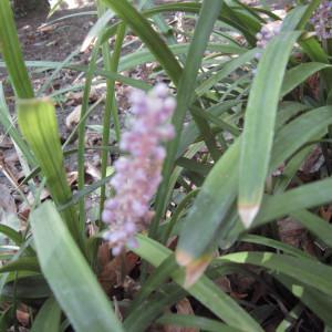 Liriope muscari L.H.Bailey