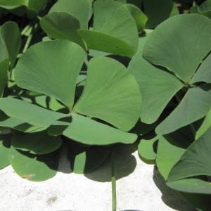 Marsilea quadrifolia L. (Fougère d'eau à quatre feuilles)