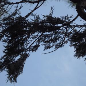 Calocedrus decurrens (Torr.) Florin (Calocèdre)