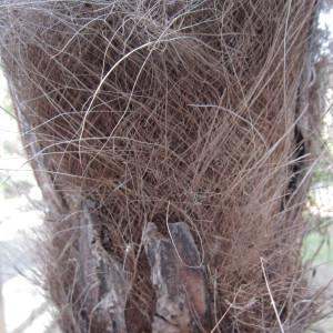 - Trachycarpus fortunei (Hook.) H.Wendl. [1862]