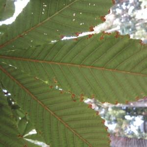 - Aesculus hippocastanum L.