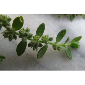 Herniaria latifolia Lapeyr. (Herniaire à larges feuilles)
