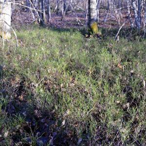 Photographie n°2271157 du taxon Vaccinium myrtillus L.