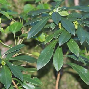 Photographie n°2271221 du taxon Daphne laureola L. [1753]