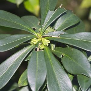 Photographie n°2271222 du taxon Daphne laureola L. [1753]