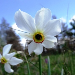 Photographie n°2271287 du taxon Narcissus poeticus subsp. poeticus