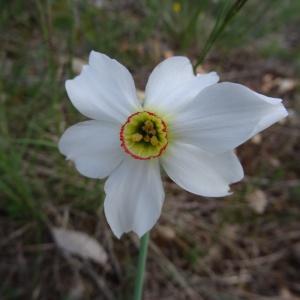 Photographie n°2271290 du taxon Narcissus poeticus subsp. poeticus