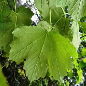 Photographie n°2271302 du taxon Acer opalus Mill.