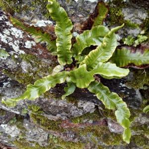 Photographie n°2271421 du taxon Asplenium scolopendrium L. [1753]