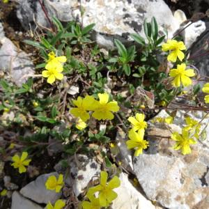 Photographie n°2271440 du taxon Helianthemum canum (L.) Baumg. [1816]