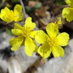 Photographie n°2271441 du taxon Helianthemum canum (L.) Baumg. [1816]