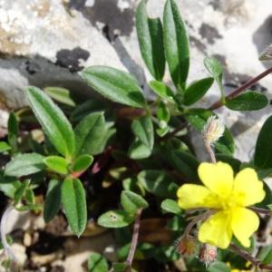 Photographie n°2271442 du taxon Helianthemum canum (L.) Baumg. [1816]