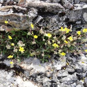 Photographie n°2271448 du taxon Helianthemum canum (L.) Baumg. [1816]