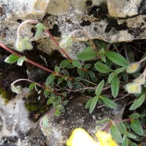 Photographie n°2271451 du taxon Helianthemum canum (L.) Baumg. [1816]