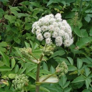 Photographie n°2271902 du taxon Angelica sylvestris L. [1753]
