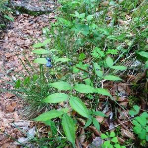 Photographie n°2272071 du taxon Lathyrus vernus f. vernus