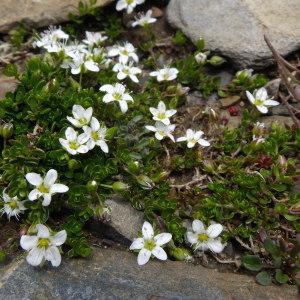Photographie n°2272210 du taxon Arenaria biflora L. [1767]