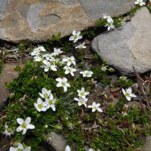 Photographie n°2272211 du taxon Arenaria biflora L. [1767]