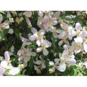 Clematis montana Buch.-Ham. ex DC. (Clématite à petites feuilles)