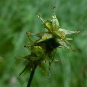Photographie n°2272455 du taxon Carex echinata Murray