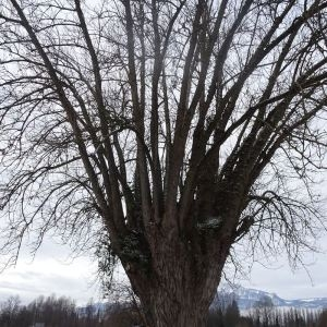 Photographie n°2272712 du taxon Populus nigra L.
