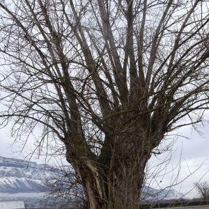 Photographie n°2272713 du taxon Populus nigra L.
