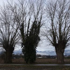 Photographie n°2272715 du taxon Populus nigra L.