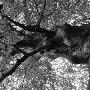 Photographie n°2272754 du taxon Fagus sylvatica L.