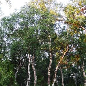Photographie n°2272843 du taxon Betula pubescens Ehrh. [1791]