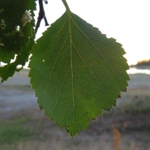 Photographie n°2272852 du taxon Betula pubescens Ehrh. [1791]