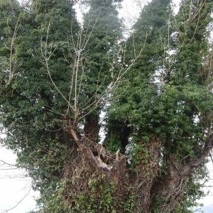 Photographie n°2272856 du taxon Populus nigra L.