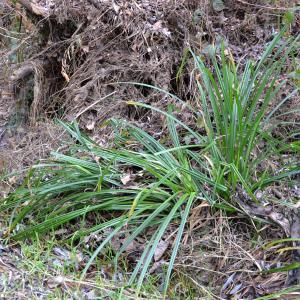 Photographie n°2273094 du taxon Carex pendula Huds.