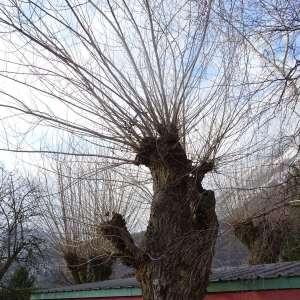 Photographie n°2273267 du taxon Populus nigra L.
