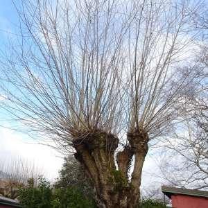 Photographie n°2273268 du taxon Populus nigra L.