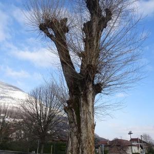 Photographie n°2273281 du taxon Populus nigra L.