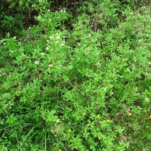 Photographie n°2273315 du taxon Ligustrum vulgare L. [1753]