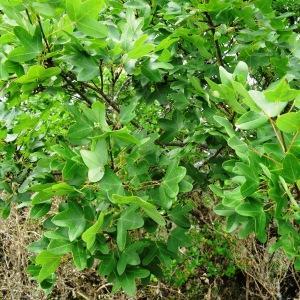 Photographie n°2273336 du taxon Acer monspessulanum L. [1753]