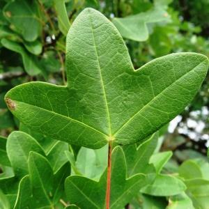 Photographie n°2273339 du taxon Acer monspessulanum L. [1753]