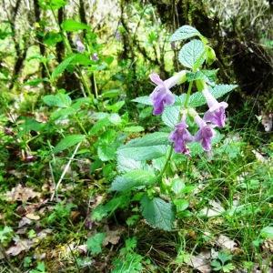 Photographie n°2273353 du taxon Melittis melissophyllum L. [1753]