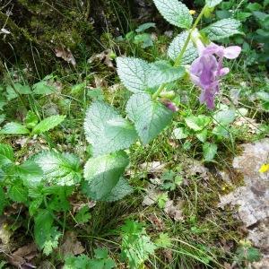 Photographie n°2273354 du taxon Melittis melissophyllum L. [1753]