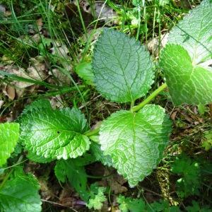 Photographie n°2273357 du taxon Melittis melissophyllum L. [1753]