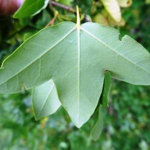Photographie n°2273383 du taxon Acer monspessulanum L. [1753]