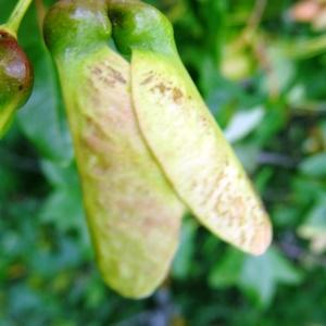 Photographie n°2273389 du taxon Acer monspessulanum L. [1753]