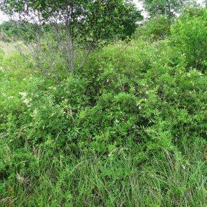 Photographie n°2273411 du taxon Ligustrum vulgare L. [1753]