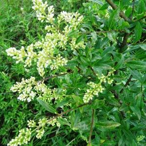 Photographie n°2273412 du taxon Ligustrum vulgare L. [1753]