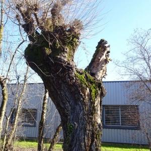 Photographie n°2273472 du taxon Populus nigra L.